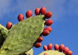 kaktus250